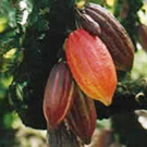 Cocoa Research Centre